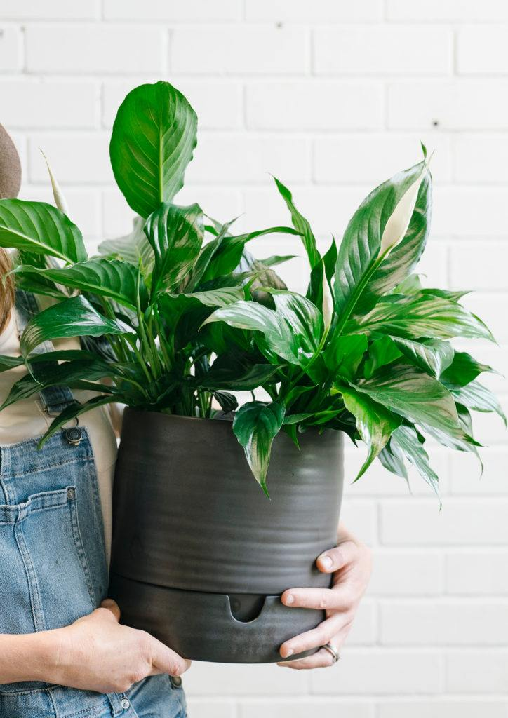 House plant to reduce anxiety